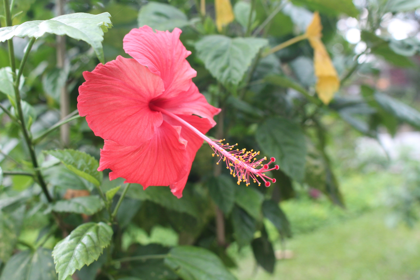 Kl hibiscus and orchid garden land of exclusive tropical flowers the hibiscus is an astonishingly beautiful plant nicknamed as the king of tropical flowers izmirmasajfo